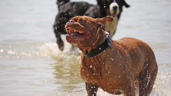 Bordeaux Dogge in Bewegung. Während ihrer wilden fünf Minuten gibt es kein Halten mehr