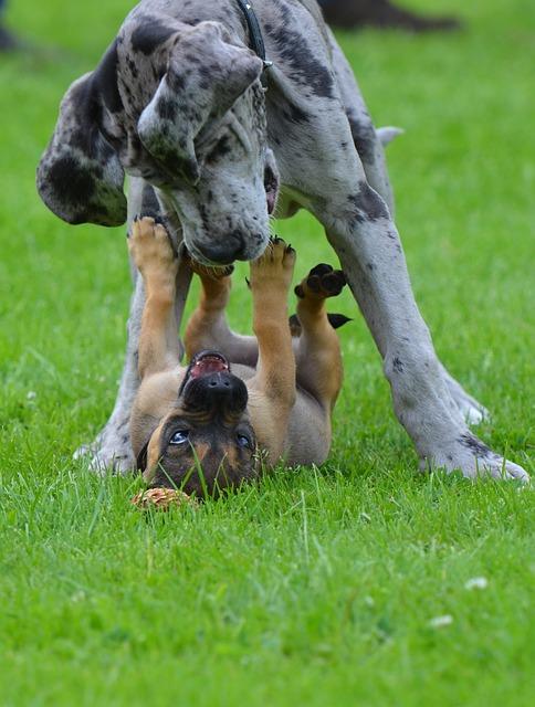 Deutsche Dogge mit anderen Hunden