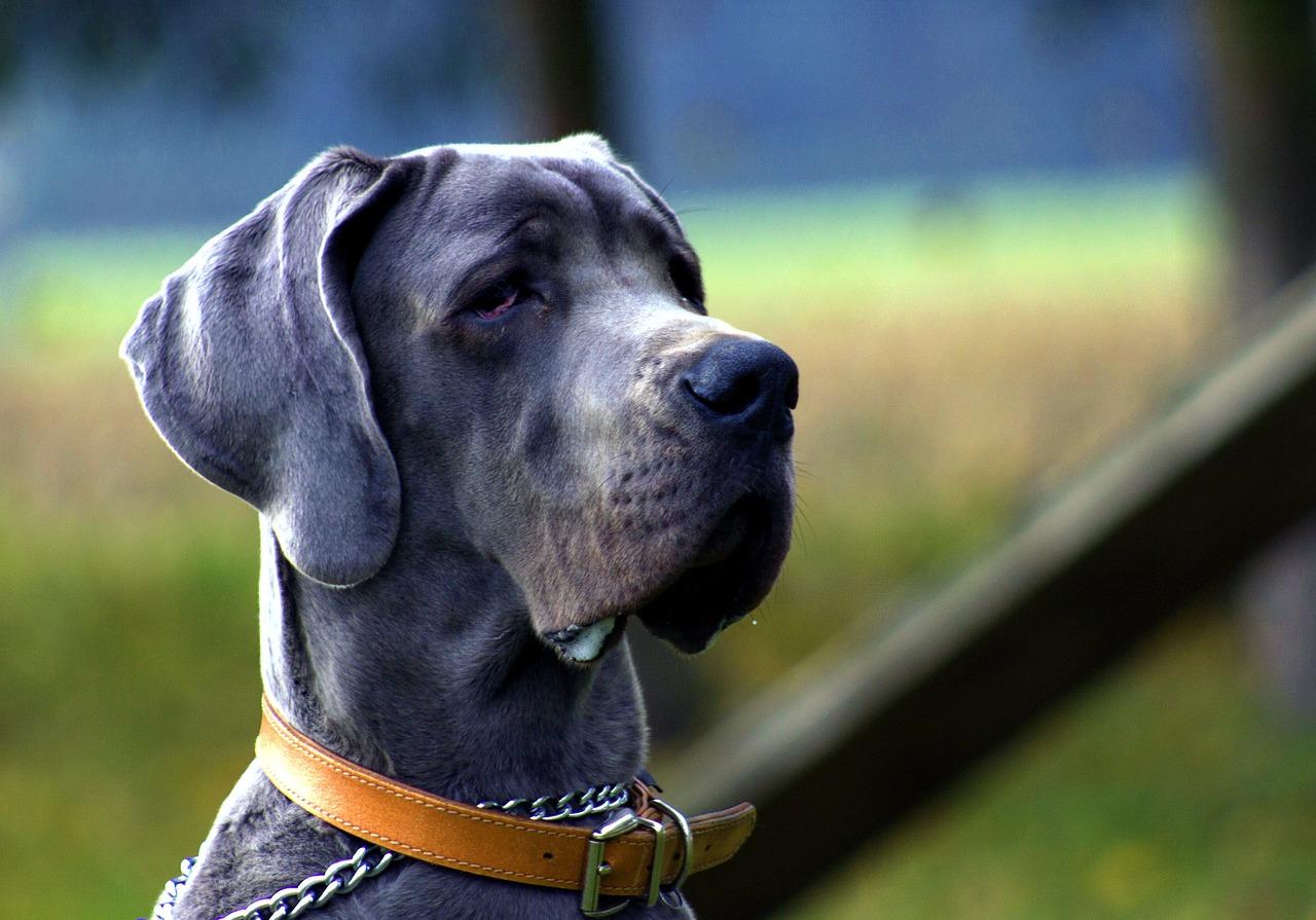 deutsche dogge wesen