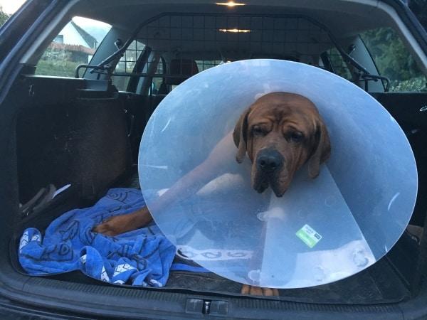 Kreuzbandriss Erfahrung - Der Hund kommt nach Hause und hat einen Trichter auf