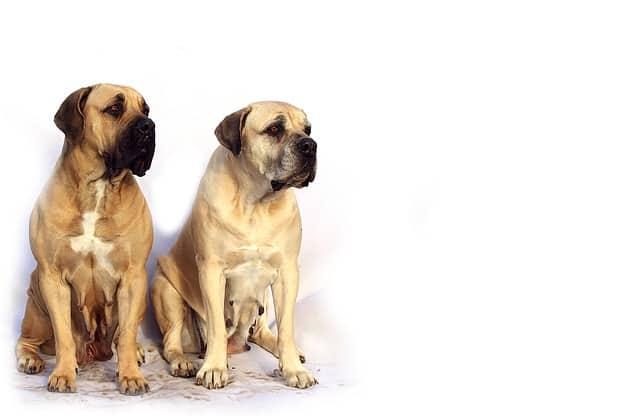 mastiff - die englische dogge im portrait inkl rassebeschreibung mit bild