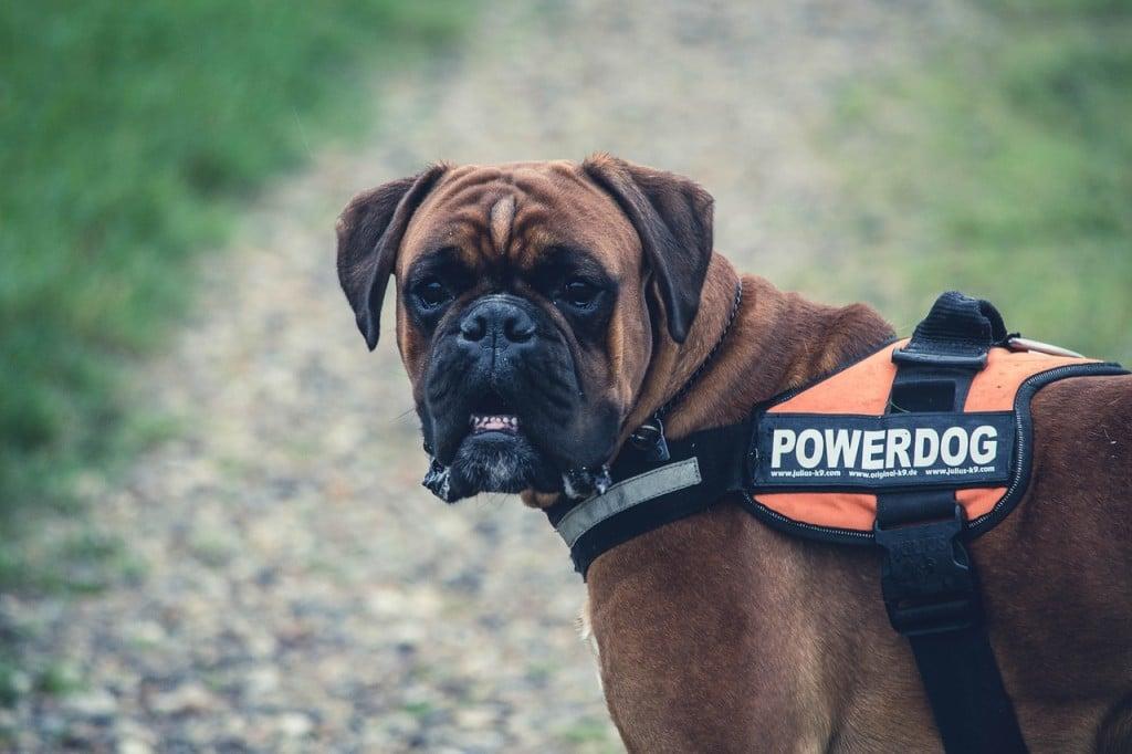Der Deutsche Boxer im Rasseportrait