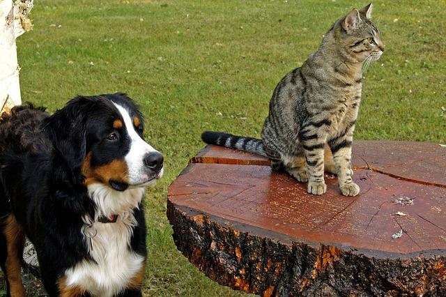 berner sennenhund katze verträglich