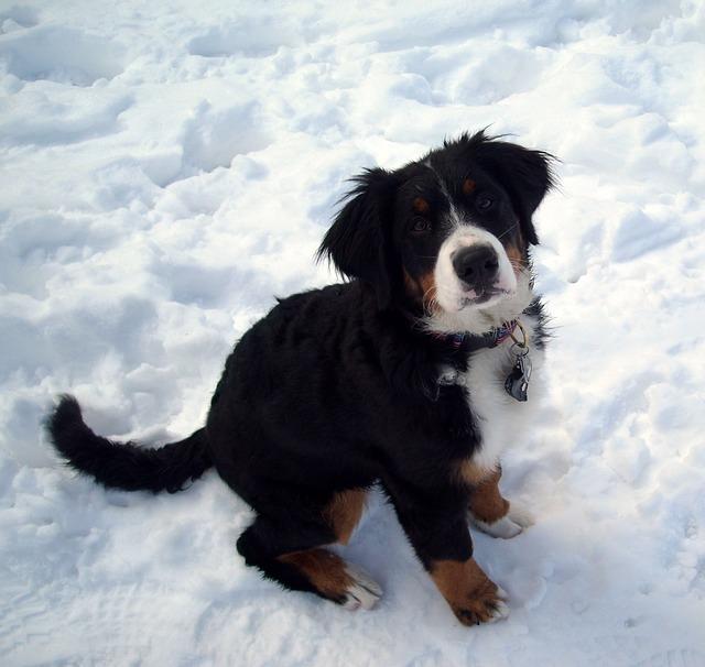 Berner Sennenhund Erziehung Hundeschule