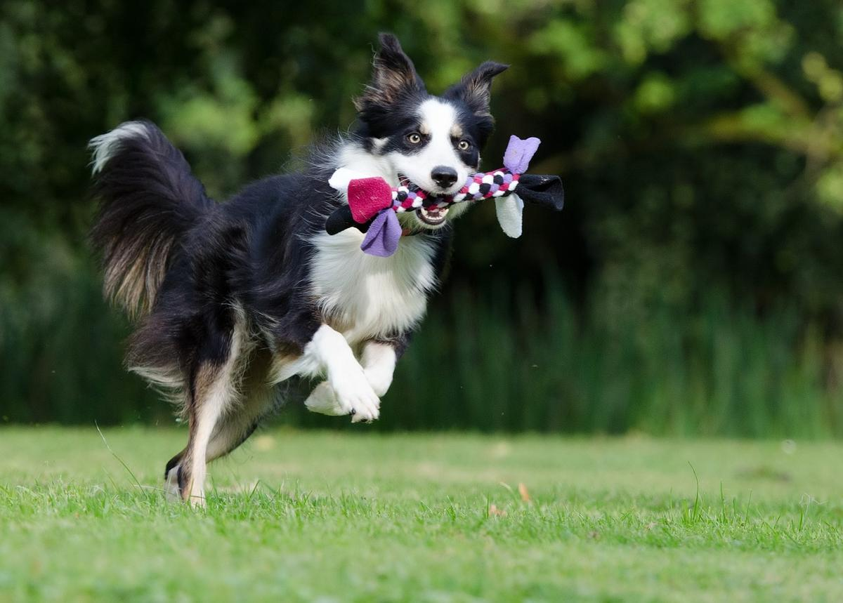 border collie hundesport