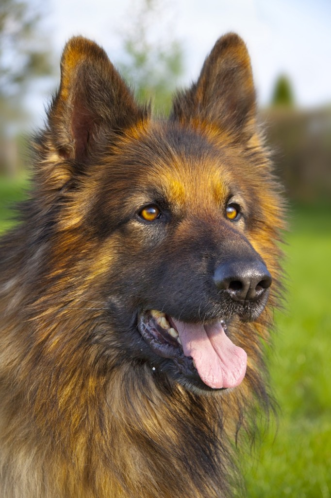 deutscher schaeferhund kopf