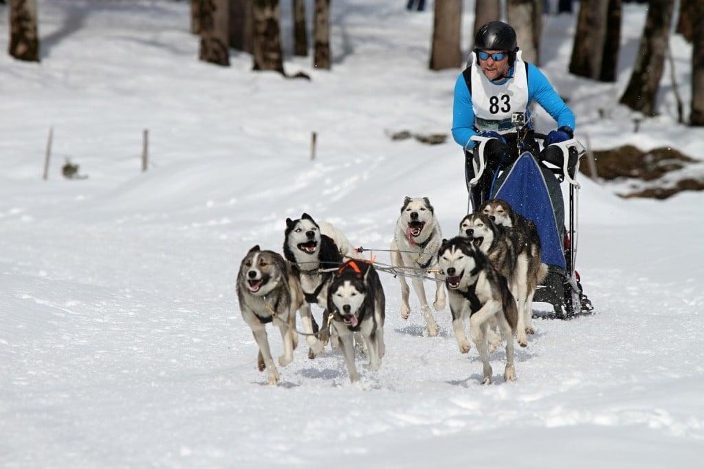 Husky Schlittenhund