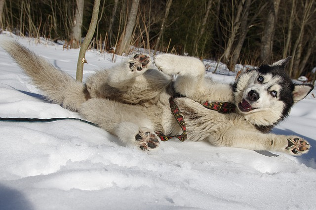 husky im schnee